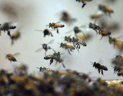 Pesquisadores criam soro para picada de abelhas