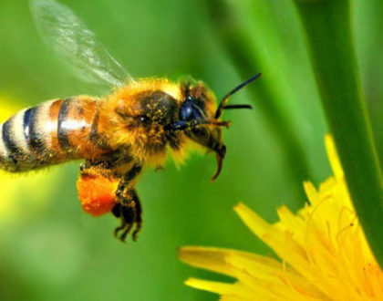 Vacina para abelhas pode evitar 'apocalipse dos insetos'
