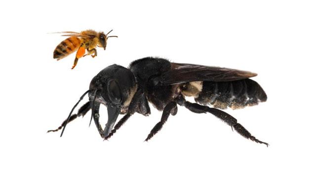 Maior abelha do mundo é encontrada depois de 40 anos desaparecida