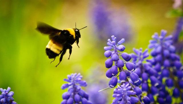 Flores escutam o zum-zum-zum das abelhas